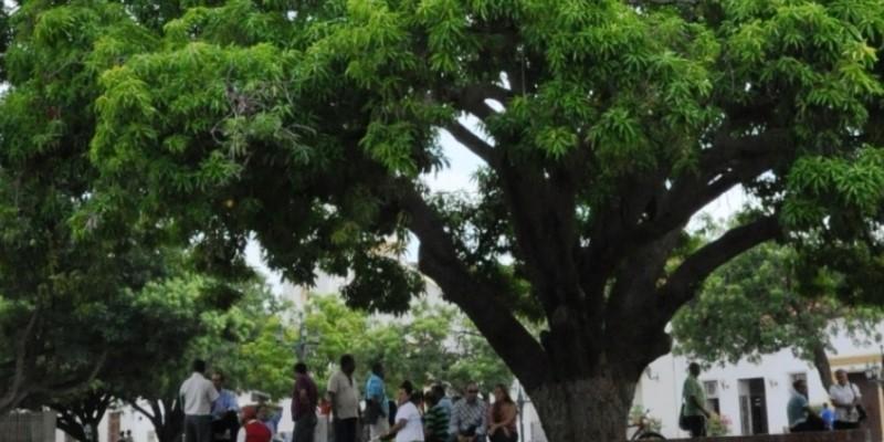 80 años después el palo de mango está en la plaza igual